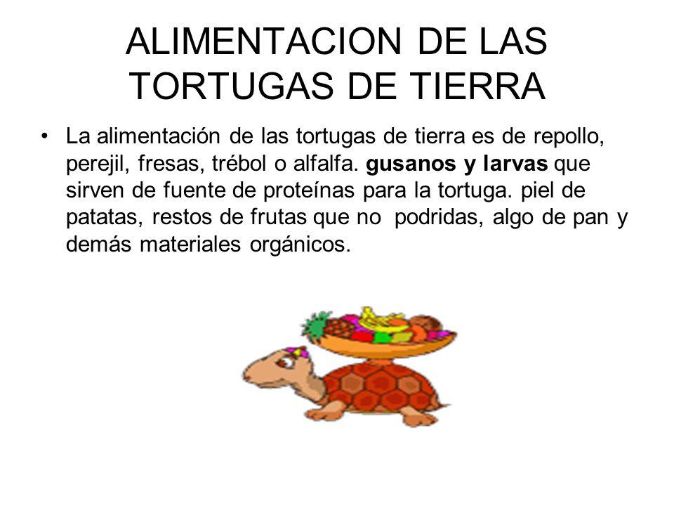 ALIMENTACION DE LAS TORTUGAS DE TIERRA La alimentación de las tortugas de tierra es de repollo, perejil, fresas, trébol o alfalfa. gusanos y larvas qu
