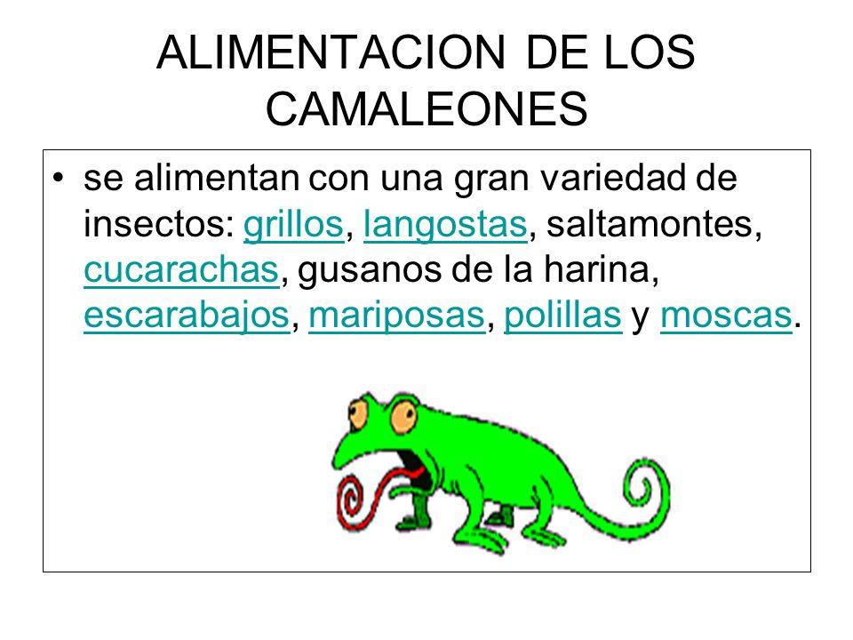 ALIMENTACION DE LOS CAMALEONES se alimentan con una gran variedad de insectos: grillos, langostas, saltamontes, cucarachas, gusanos de la harina, esca