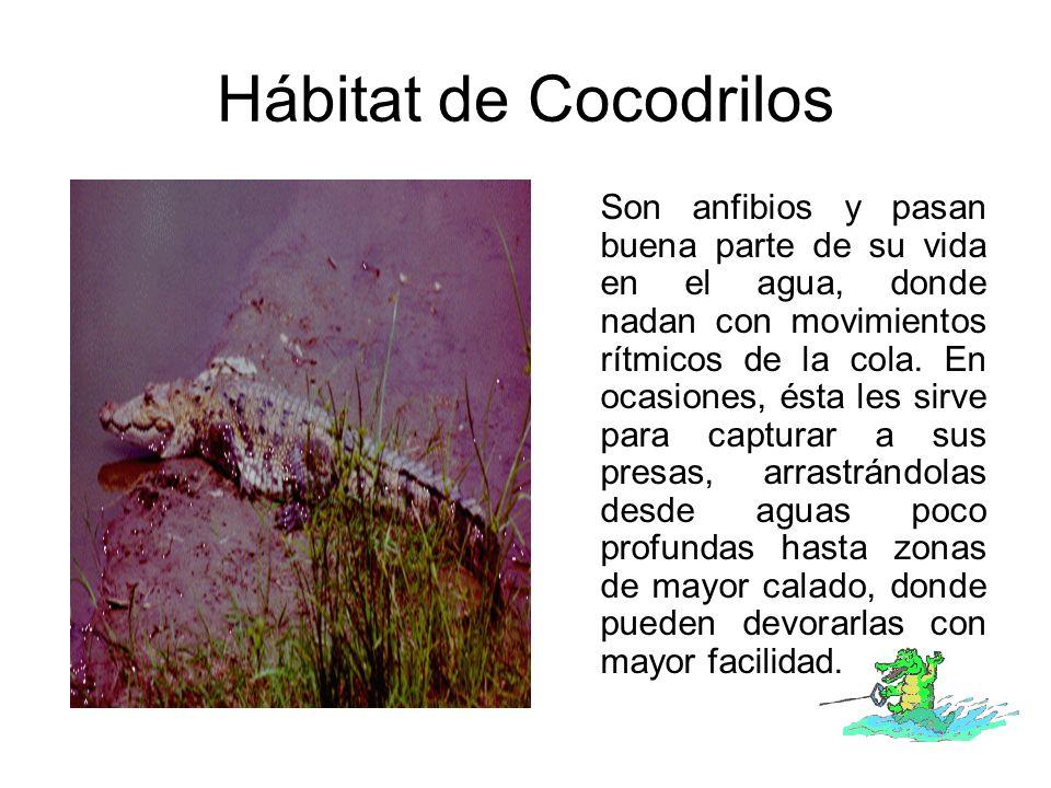 Hábitat de Cocodrilos Son anfibios y pasan buena parte de su vida en el agua, donde nadan con movimientos rítmicos de la cola. En ocasiones, ésta les