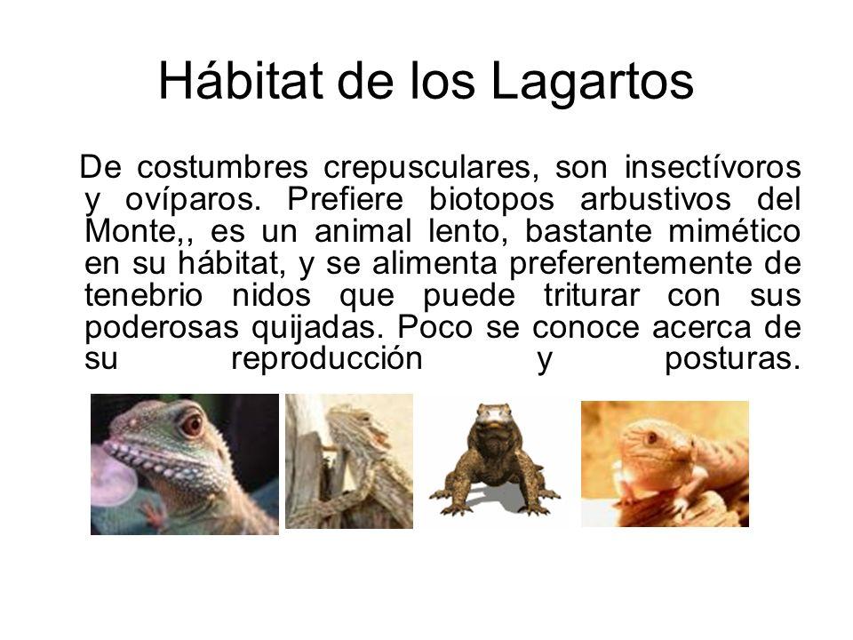 Hábitat de los Lagartos De costumbres crepusculares, son insectívoros y ovíparos. Prefiere biotopos arbustivos del Monte,, es un animal lento, bastant
