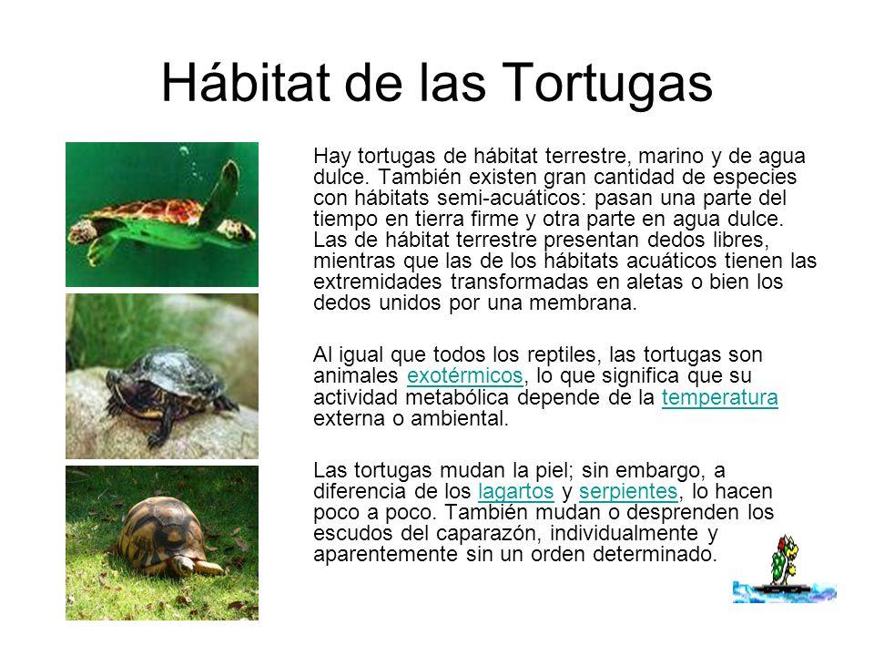 Hábitat de las Tortugas Hay tortugas de hábitat terrestre, marino y de agua dulce. También existen gran cantidad de especies con hábitats semi-acuátic