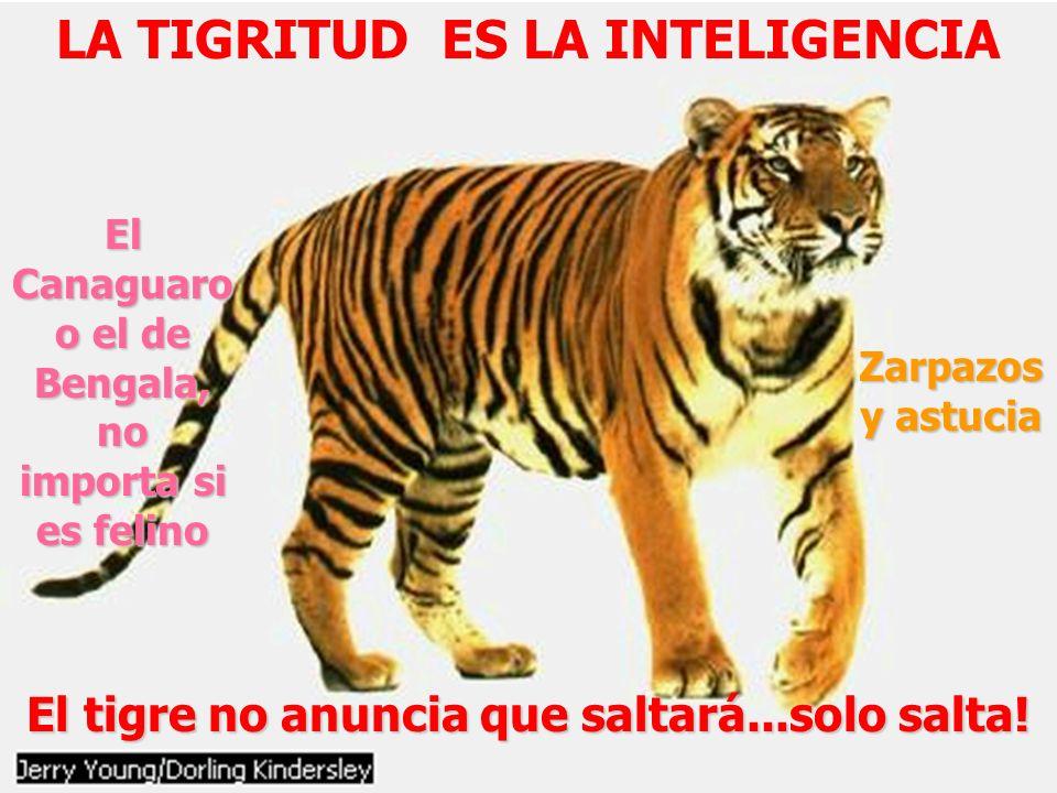 LA TIGRITUD ES LA INTELIGENCIA El tigre no anuncia que saltará...solo salta! El Canaguaro o el de Bengala, no importa si es felino Zarpazos y astucia