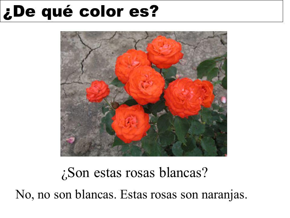 ¿De qué color es? ¿Son estas rosas blancas? No, no son blancas. Estas rosas son naranjas.