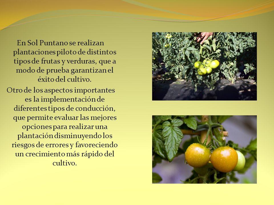 En Sol Puntano se realizan plantaciones piloto de distintos tipos de frutas y verduras, que a modo de prueba garantizan el éxito del cultivo. Otro de