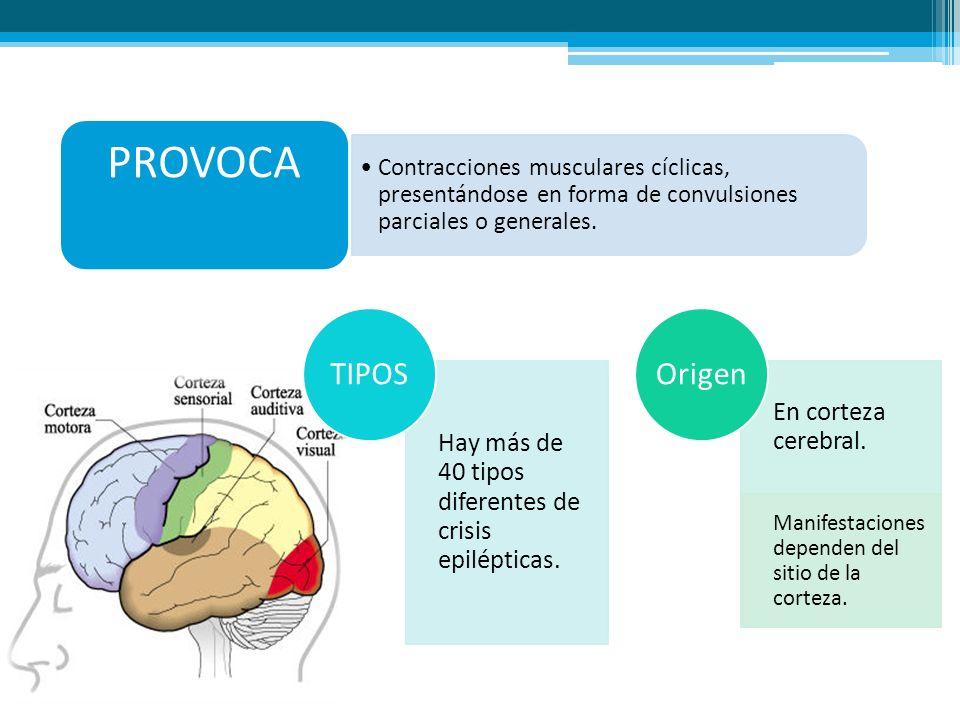 PROVOCA Contracciones musculares cíclicas, presentándose en forma de convulsiones parciales o generales. Hay más de 40 tipos diferentes de crisis epil
