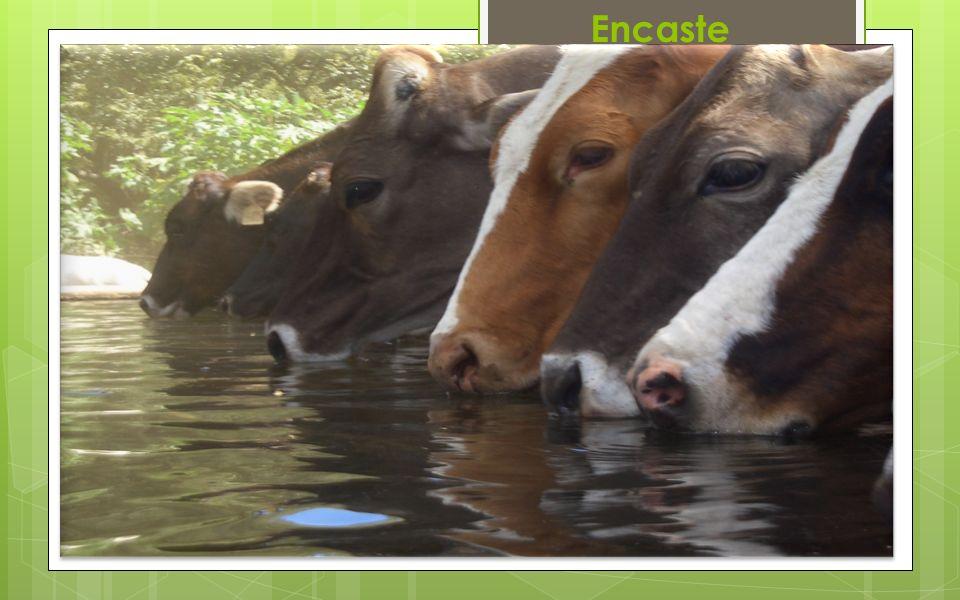 Encaste