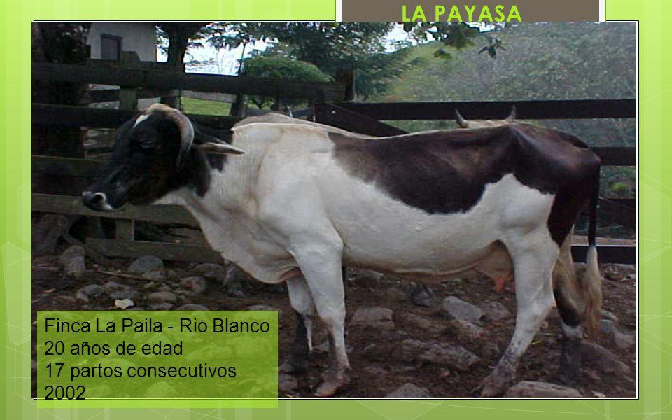 Finca La Paila - Rio Blanco 20 años de edad 17 partos consecutivos 2002 LA PAYASA