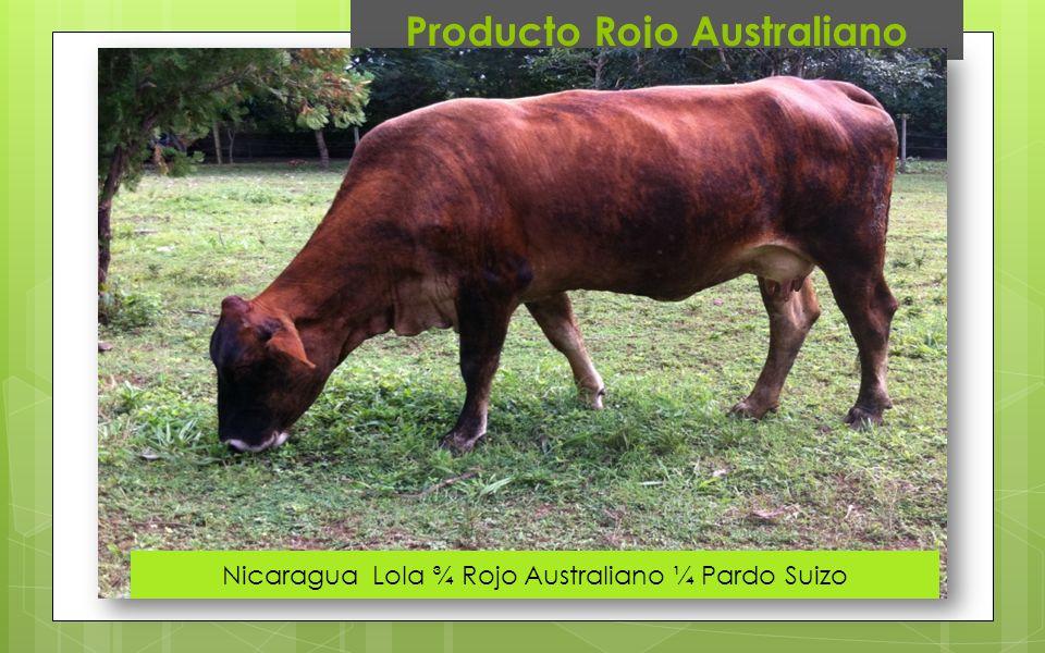Producto Rojo Australiano Nicaragua Lola ¾ Rojo Australiano ¼ Pardo Suizo
