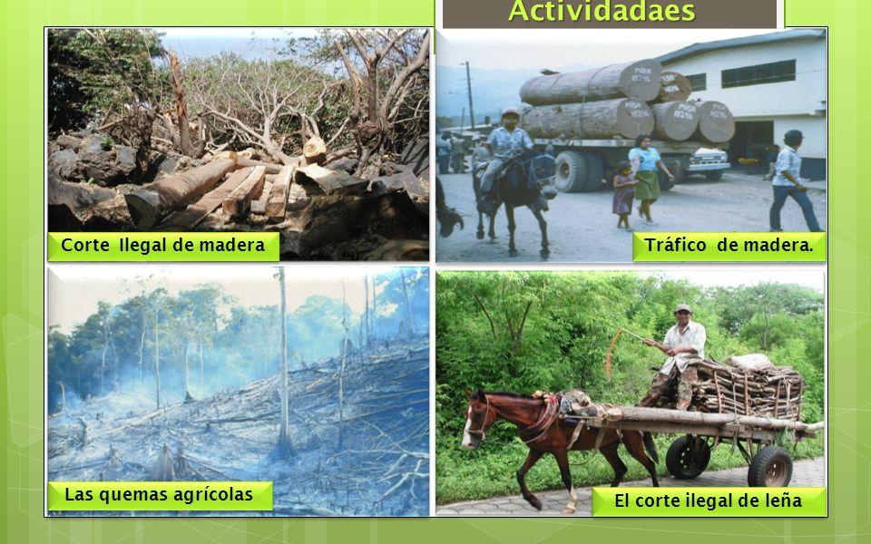 Corte Ilegal de madera Tráfico de madera. Las quemas agrícolas El corte ilegal de leña Actividadaes