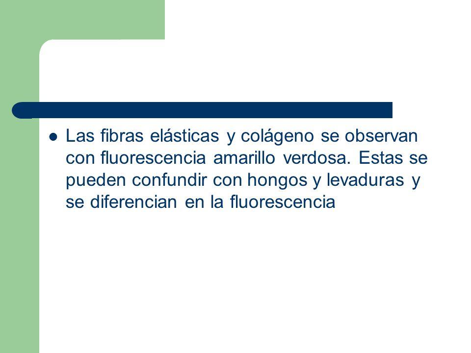 Las fibras elásticas y colágeno se observan con fluorescencia amarillo verdosa. Estas se pueden confundir con hongos y levaduras y se diferencian en l