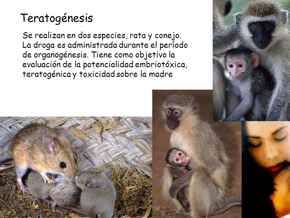 Se realizan en dos especies, rata y conejo. La droga es administrada durante el período de organogénesis. Tiene como objetivo la evaluación de la pote