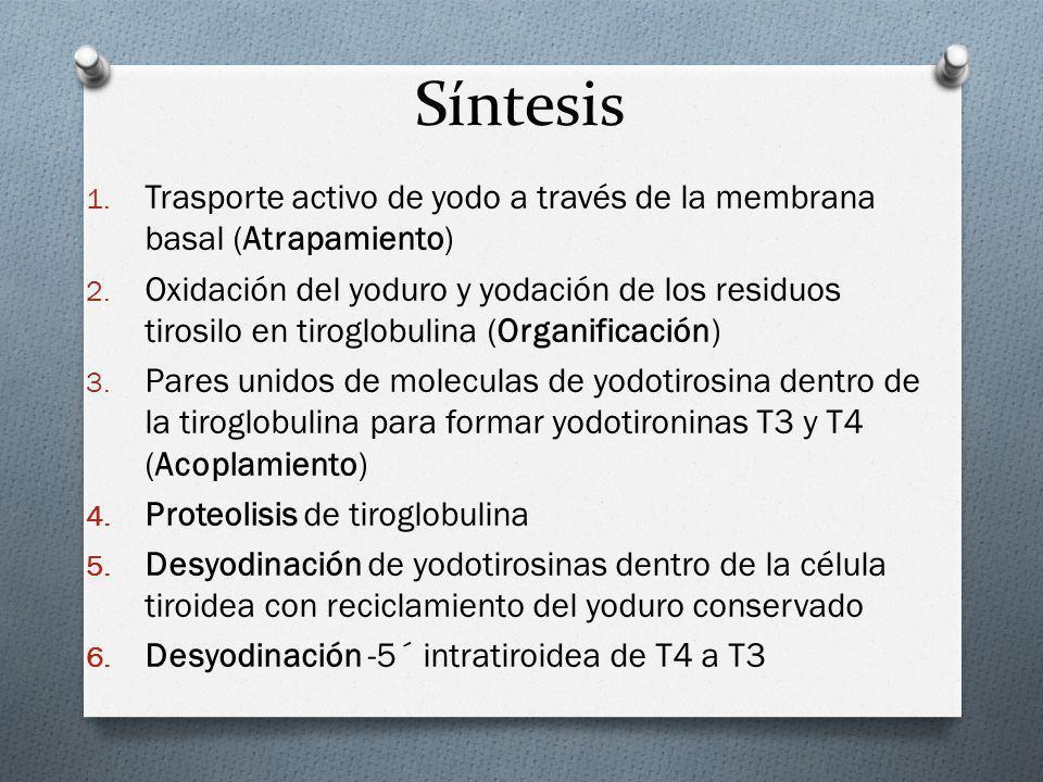 Síntesis 1. Trasporte activo de yodo a través de la membrana basal (Atrapamiento) 2. Oxidación del yoduro y yodación de los residuos tirosilo en tirog