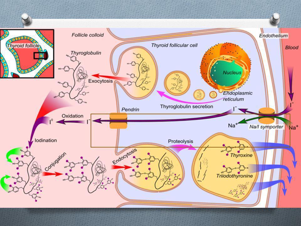 Atrapamiento O El yodo se transporta al interior de la célula folicular a través de la membrana basolateral mediante un trasportador de membrana (Simp