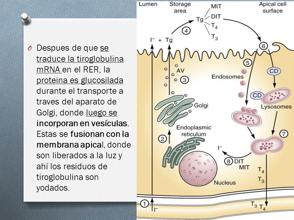 O Despues de que se traduce la tiroglobulina mRNA en el RER, la proteina es glucosilada durante el transporte a traves del aparato de Golgi, donde lue