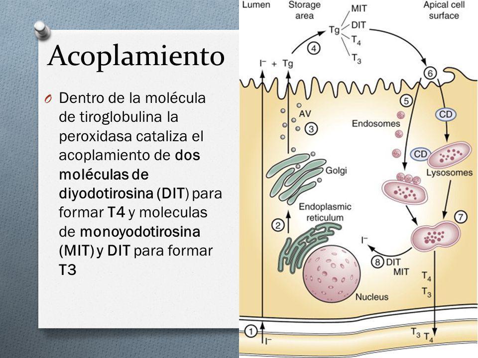 Acoplamiento O Dentro de la molécula de tiroglobulina la peroxidasa cataliza el acoplamiento de dos moléculas de diyodotirosina (DIT) para formar T4 y