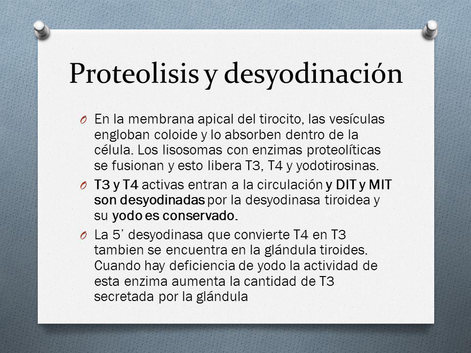 Proteolisis y desyodinación O En la membrana apical del tirocito, las vesículas engloban coloide y lo absorben dentro de la célula. Los lisosomas con