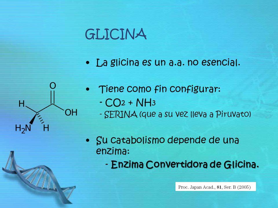 GLICINA La glicina es un a.a. no esencial. Tiene como fin configurar: - CO 2 + NH 3 - SERINA (que a su vez lleva a Piruvato) Su catabolismo depende de