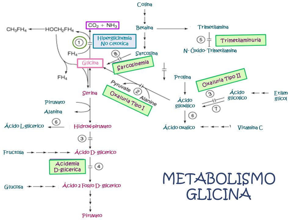 Serina Hidroxi-piruvato Ácido D- glicerico Ácido 2 Fosfo D- glicerico Piruvato Glicina Hiperglicinemia No cetotica Colina Betaina Sarcosina Trimetilamina N- Óxido- Trimetilamina Prolina Ácido glioxilico Ácido oxalico Ácido glicolico Etilen glicol Vitamina C Piruvato Alanina Ácido L-glicerico Fructosa Glucosa METABOLISMO GLICINA