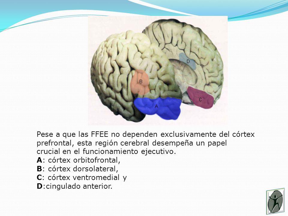 Pese a que las FFEE no dependen exclusivamente del córtex prefrontal, esta región cerebral desempeña un papel crucial en el funcionamiento ejecutivo.