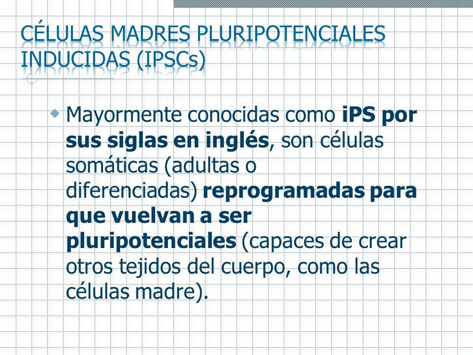Mayormente conocidas como iPS por sus siglas en inglés, son células somáticas (adultas o diferenciadas) reprogramadas para que vuelvan a ser pluripote