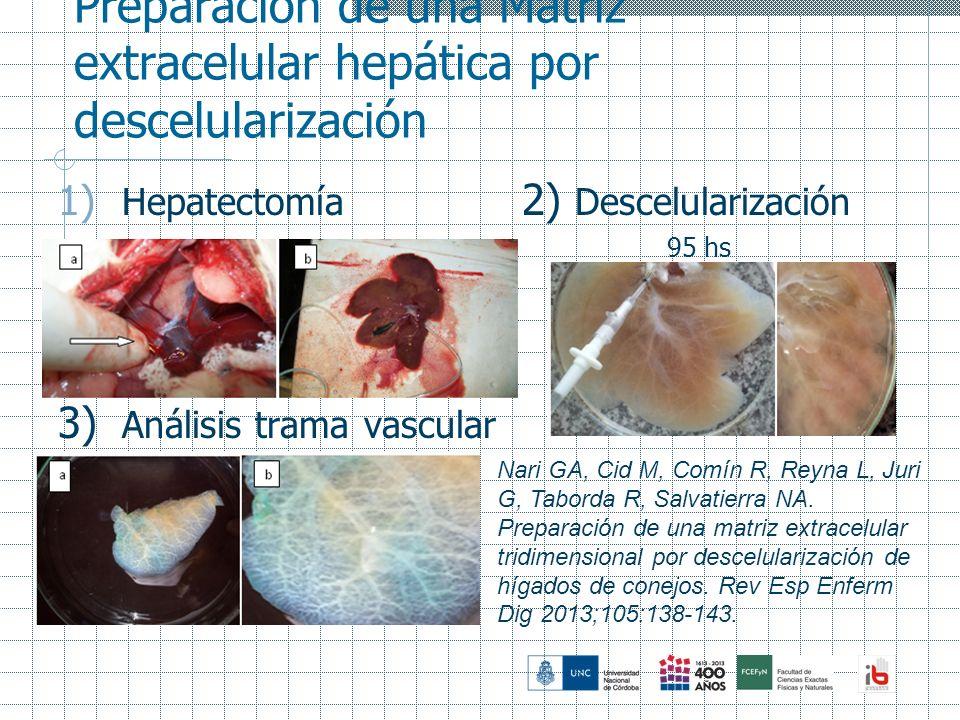 Preparación de una Matriz extracelular hepática por descelularización 1) Hepatectomía 2) Descelularización 95 hs 3) Análisis trama vascular Nari GA, C