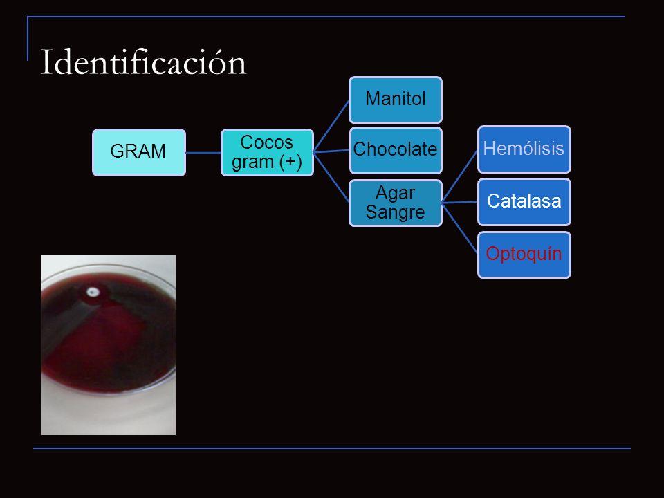 GRAM Cocos gram (+) ManitolChocolate Agar Sangre HemólisisCatalasaOptoquín