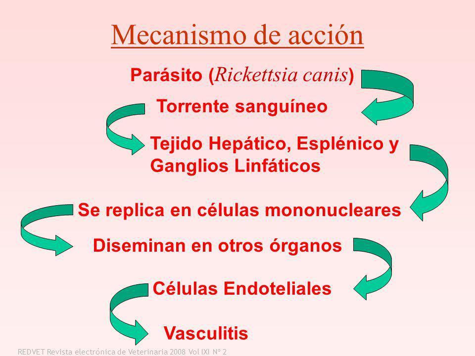 Mecanismo de acción Parásito ( Rickettsia canis ) Torrente sanguíneo Tejido Hepático, Esplénico y Ganglios Linfáticos Se replica en células mononuclea