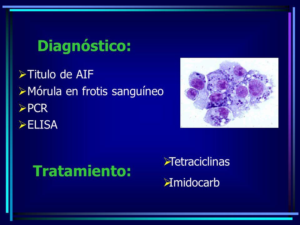 Titulo de AIF Mórula en frotis sanguíneo PCR ELISA Diagnóstico: Tetraciclinas Imidocarb Tratamiento: