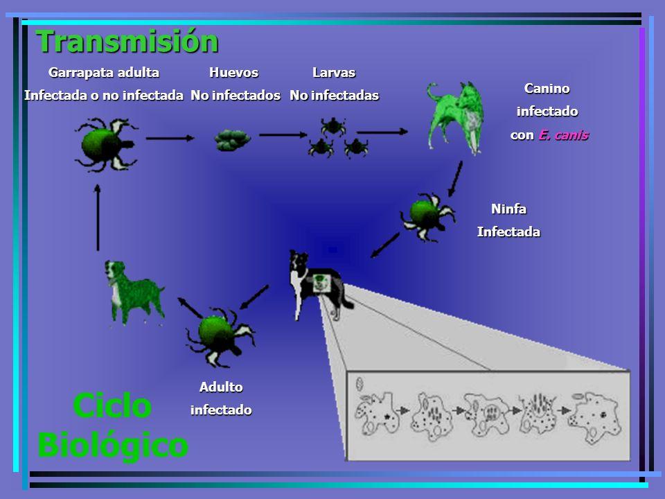 Garrapata adulta Infectada o no infectada Larvas No infectadas Huevos No infectados Caninoinfectado con E. canis con E. canis NinfaInfectada Adultoinf
