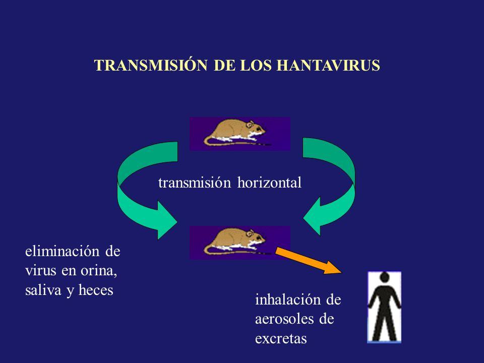 transmisión horizontal eliminación de virus en orina, saliva y heces inhalación de aerosoles de excretas TRANSMISIÓN DE LOS HANTAVIRUS