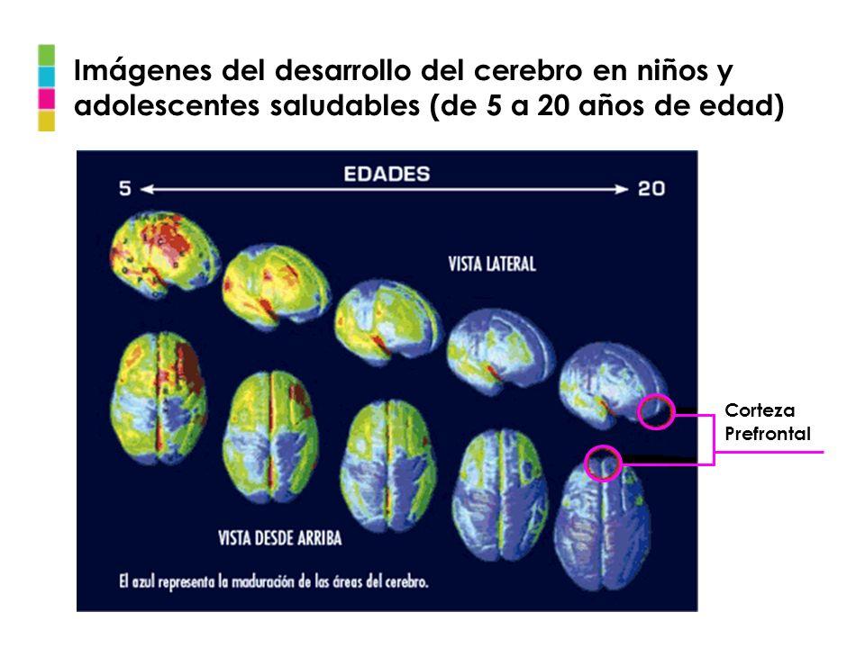 Imágenes del desarrollo del cerebro en niños y adolescentes saludables (de 5 a 20 años de edad) Corteza Prefrontal