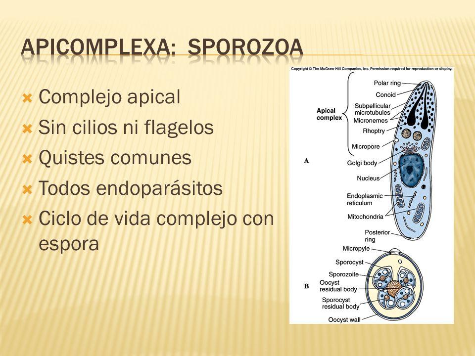 Complejo apical Sin cilios ni flagelos Quistes comunes Todos endoparásitos Ciclo de vida complejo con espora