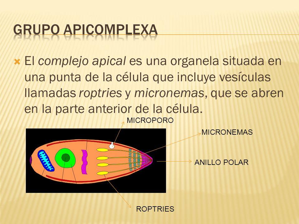 El complejo apical es una organela situada en una punta de la célula que incluye vesículas llamadas roptries y micronemas, que se abren en la parte an