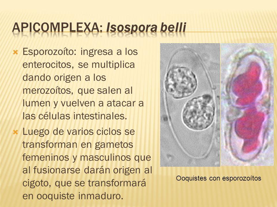 Esporozoíto: ingresa a los enterocitos, se multiplica dando origen a los merozoítos, que salen al lumen y vuelven a atacar a las células intestinales.