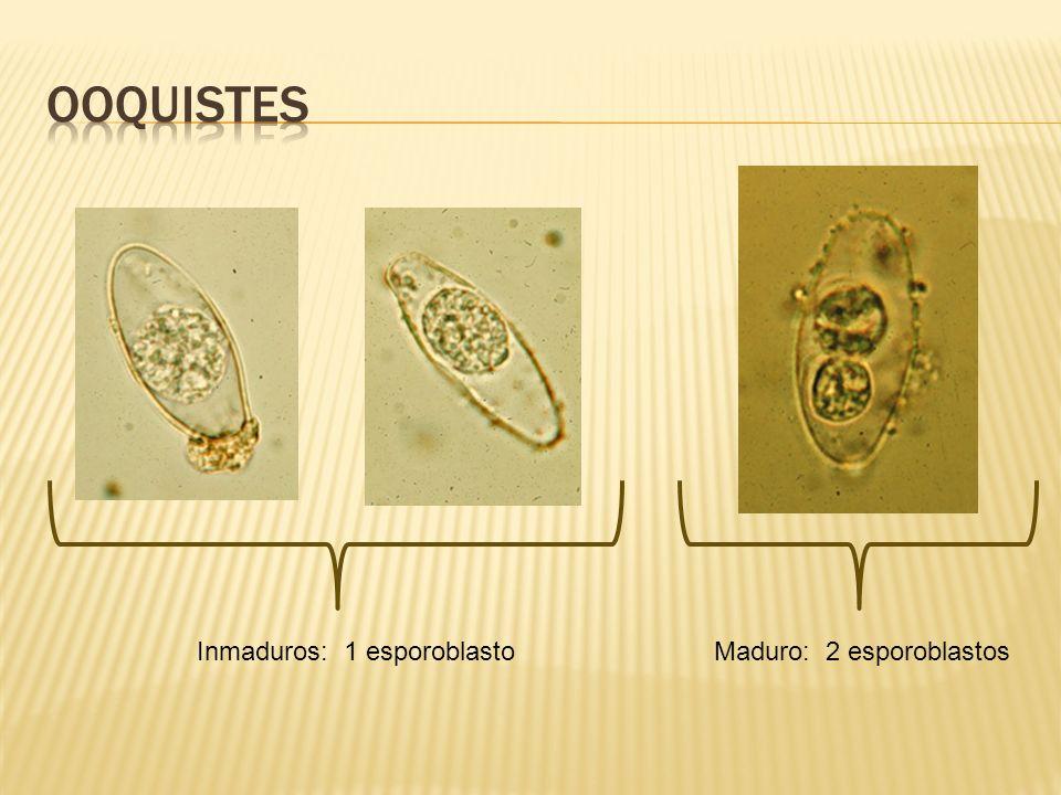 Inmaduros: 1 esporoblastoMaduro: 2 esporoblastos