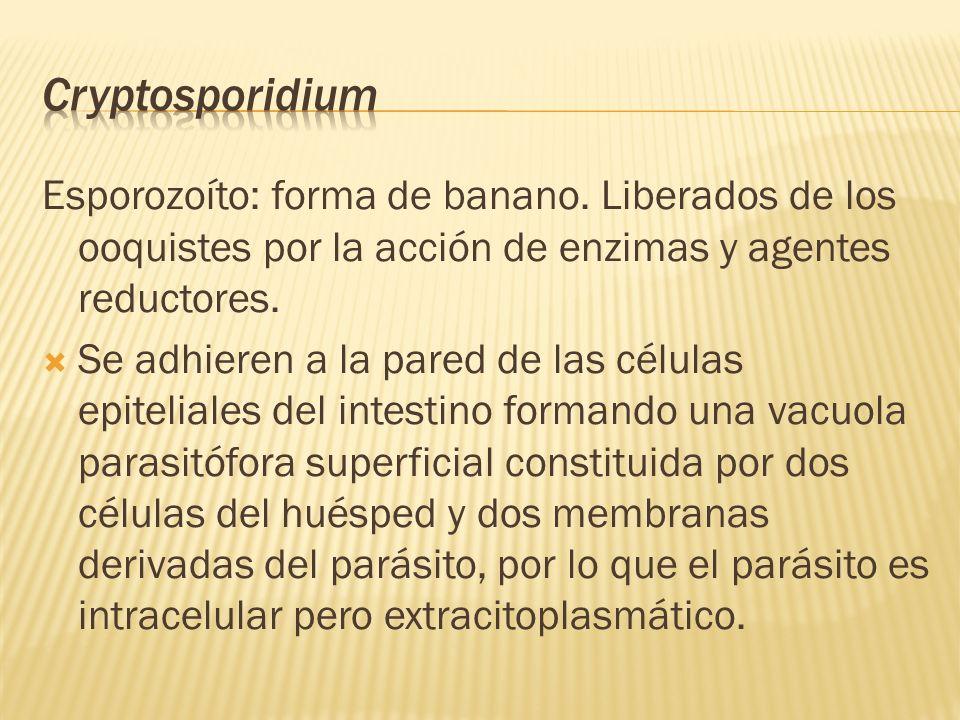 Esporozoíto: forma de banano. Liberados de los ooquistes por la acción de enzimas y agentes reductores. Se adhieren a la pared de las células epitelia