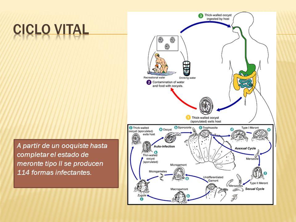 A partir de un ooquiste hasta completar el estado de meronte tipo II se producen 114 formas infectantes.