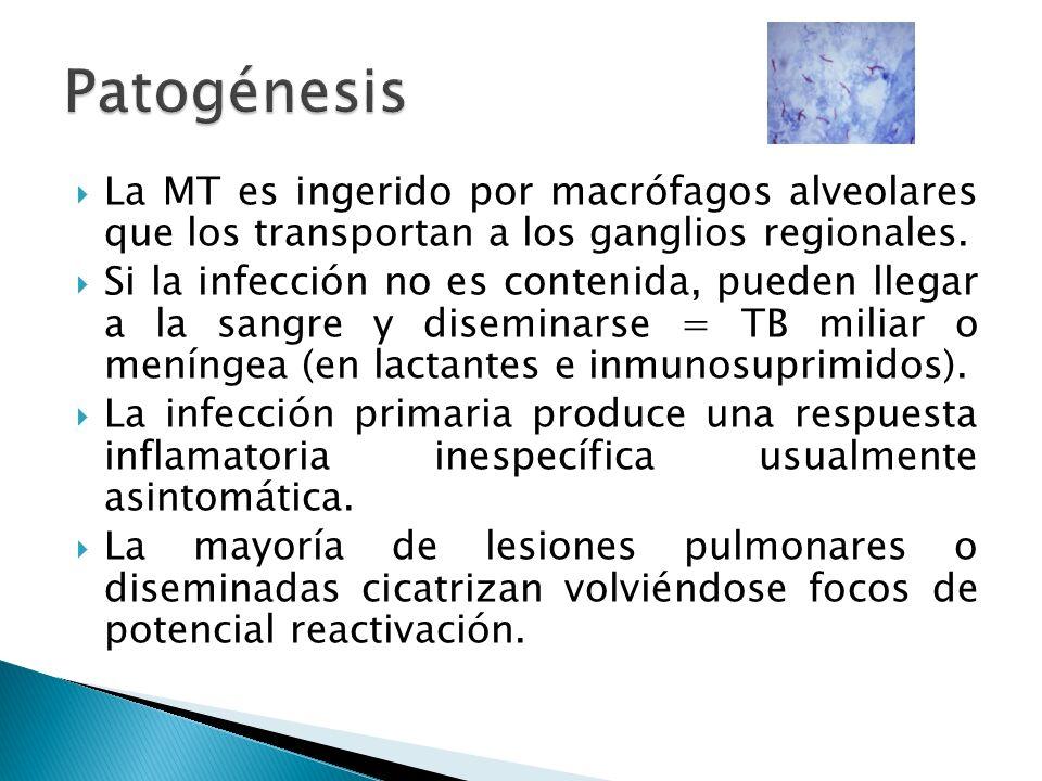 La MT es ingerido por macrófagos alveolares que los transportan a los ganglios regionales. Si la infección no es contenida, pueden llegar a la sangre