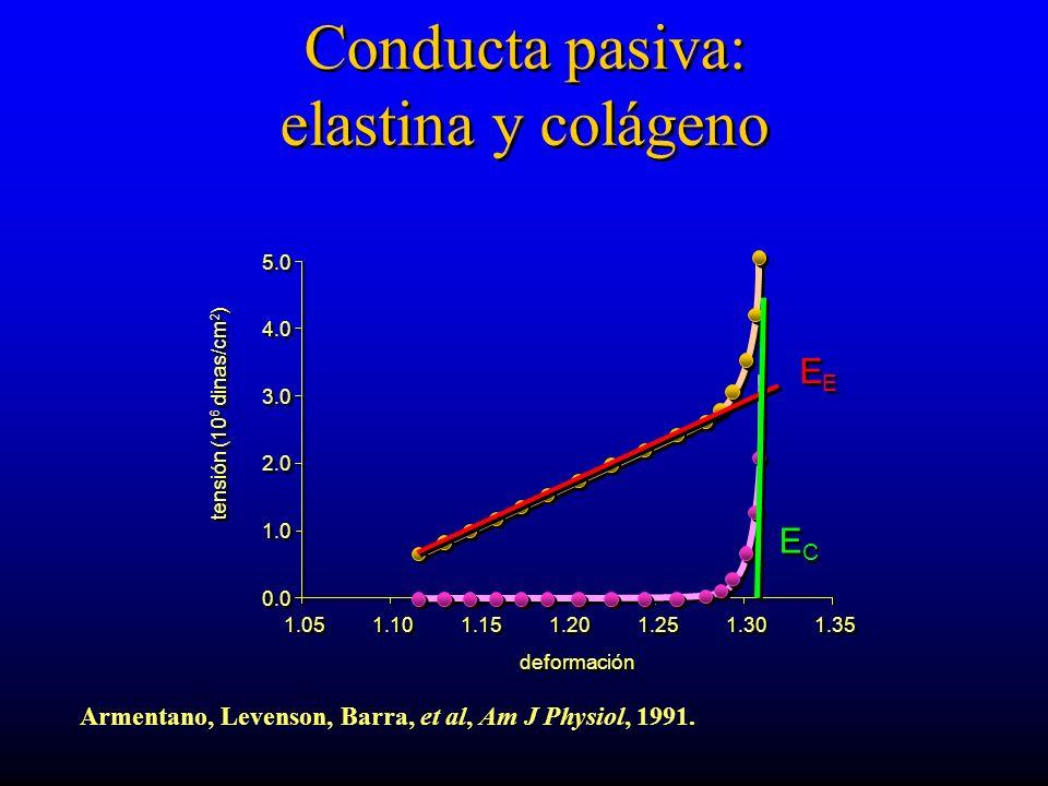 1.05 0.0 1.0 2.0 3.0 4.0 5.0 1.10 1.15 1.20 1.25 1.30 1.35 deformación tensión (10 6 dinas/cm 2 ) Conducta pasiva: elastina y colágeno EE ECEC ECEC Armentano, Levenson, Barra, et al, Am J Physiol, 1991.