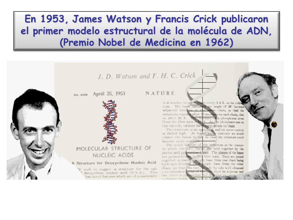 En 1953, James Watson y Francis Crick publicaron el primer modelo estructural de la molécula de ADN, (Premio Nobel de Medicina en 1962) En 1953, James Watson y Francis Crick publicaron el primer modelo estructural de la molécula de ADN, (Premio Nobel de Medicina en 1962)