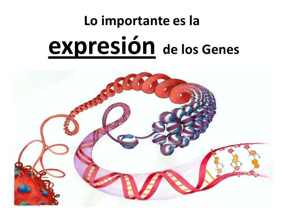 Lo importante es la expresión de los Genes