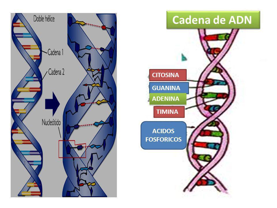 Cadena de ADN CITOSINA GUANINA ADENINA TIMINA ACIDOS FOSFORICOS