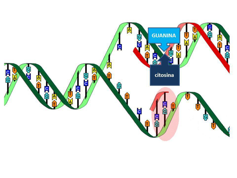 EPIGENOMA Estos patrones de modulación de la expresión génica (represión o expresión) son mantenidos de forma estable a lo largo del tiempo y son transmitidos transgeneracionalmente