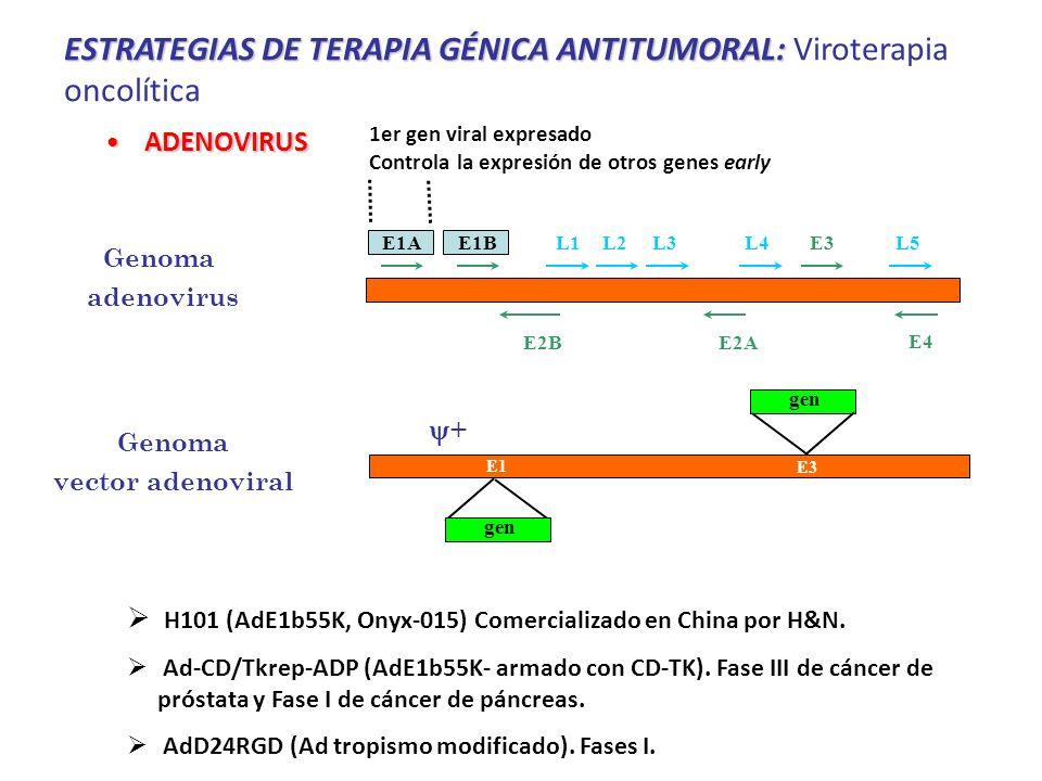 ESTRATEGIAS DE TERAPIA GÉNICA ANTITUMORAL: ESTRATEGIAS DE TERAPIA GÉNICA ANTITUMORAL: Viroterapia oncolítica ADENOVIRUSADENOVIRUS + ITR gen E1 E3 Genoma vector adenoviral Genoma adenovirus E1AE1BE3 E4 L1L2L3L4L5 E2AE2B 1er gen viral expresado Controla la expresión de otros genes early H101 (AdE1b55K, Onyx-015) Comercializado en China por H&N.