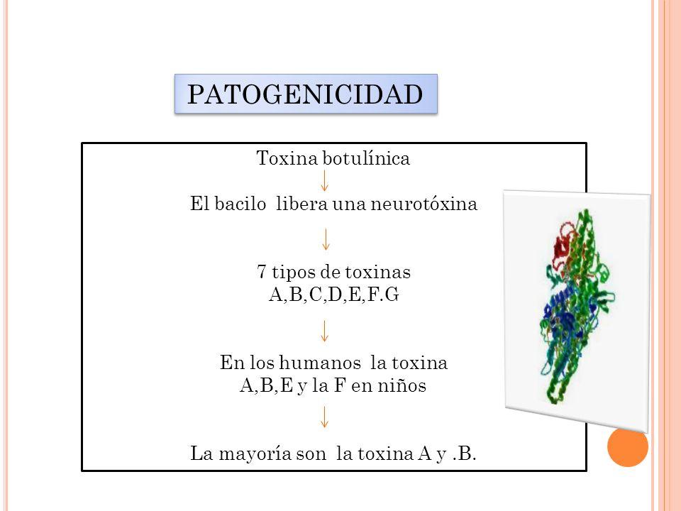 PATOGENICIDAD Toxina botulínica El bacilo libera una neurotóxina 7 tipos de toxinas A,B,C,D,E,F.G En los humanos la toxina A,B,E y la F en niños La ma