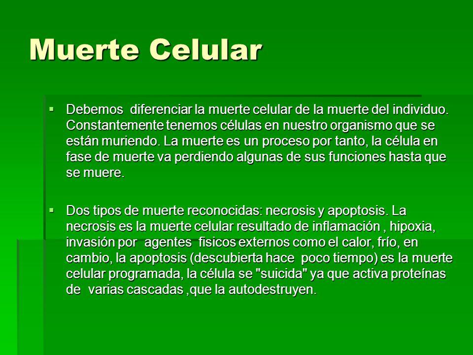 Muerte Celular Debemos diferenciar la muerte celular de la muerte del individuo. Constantemente tenemos células en nuestro organismo que se están muri