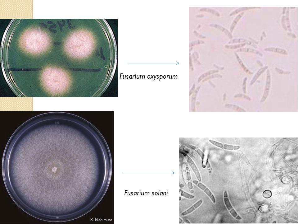 Fusarium oxysporum Fusarium solani