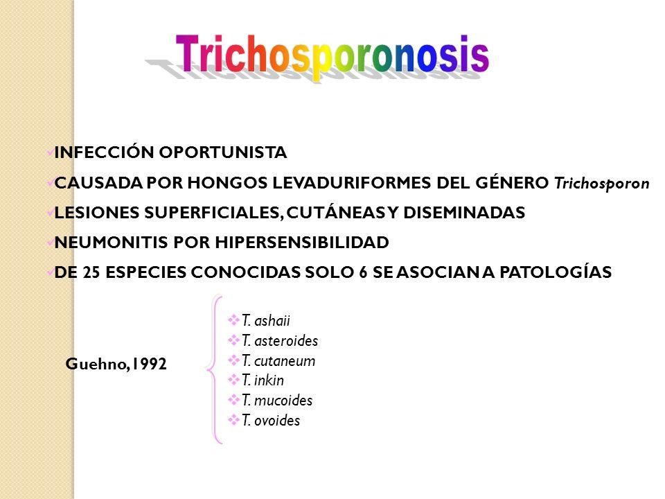 INFECCIÓN OPORTUNISTA CAUSADA POR HONGOS LEVADURIFORMES DEL GÉNERO Trichosporon LESIONES SUPERFICIALES, CUTÁNEAS Y DISEMINADAS NEUMONITIS POR HIPERSENSIBILIDAD DE 25 ESPECIES CONOCIDAS SOLO 6 SE ASOCIAN A PATOLOGÍAS T.