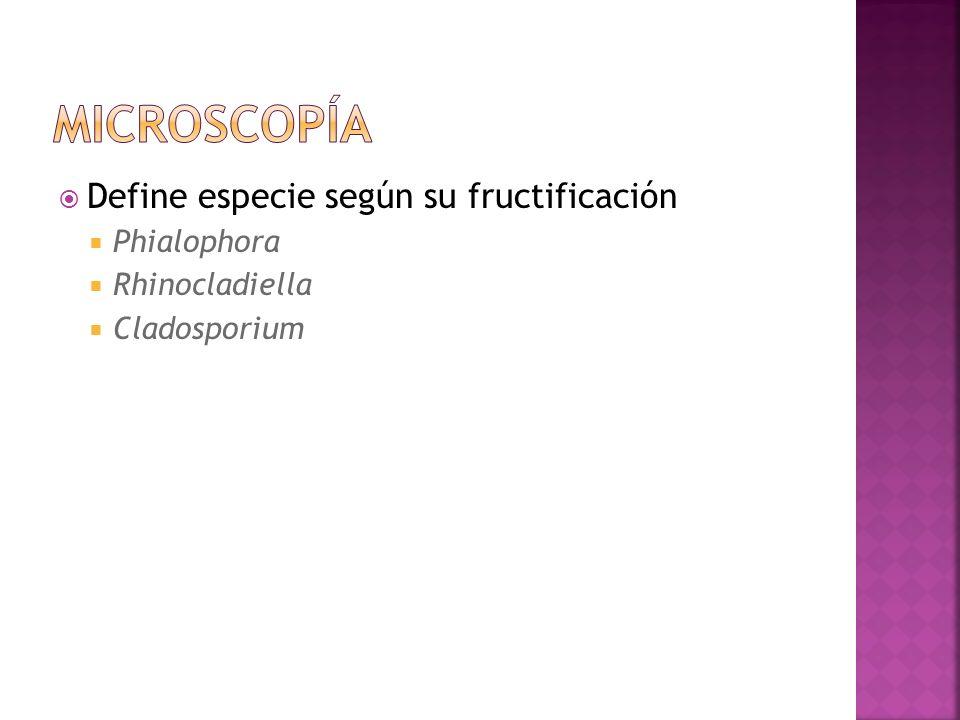 Define especie según su fructificación Phialophora Rhinocladiella Cladosporium