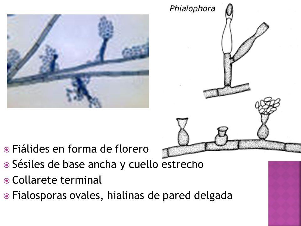 Fiálides en forma de florero Sésiles de base ancha y cuello estrecho Collarete terminal Fialosporas ovales, hialinas de pared delgada